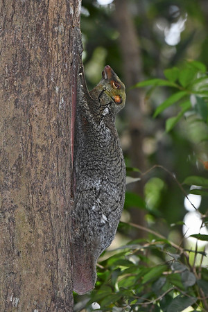 Malayan Colugo sleeping during the day