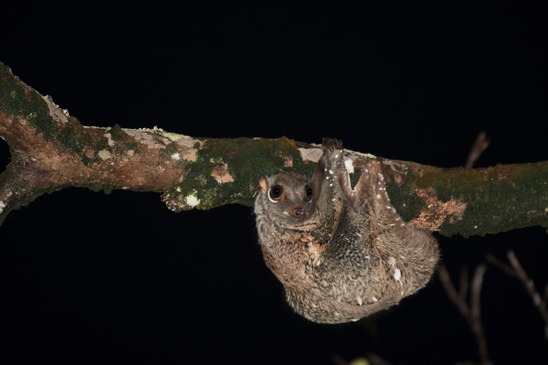 Malayan Colugo looking out for a tree to glide to