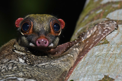 Close up of Malayan Colugo