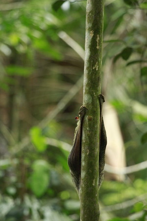 Malayan Colugo behind a thin tree trunk