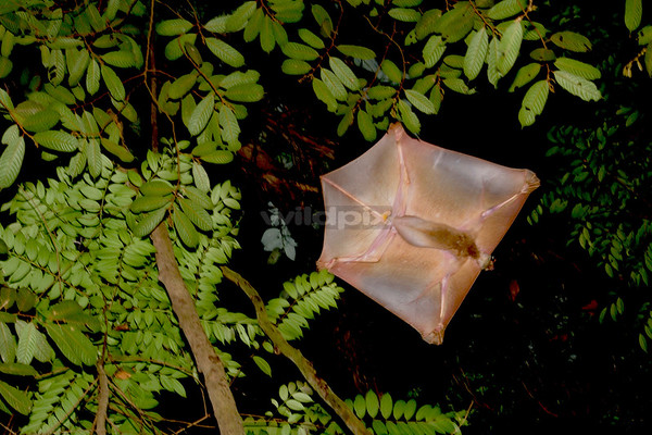 A Malayan Colugo gliding to another tree