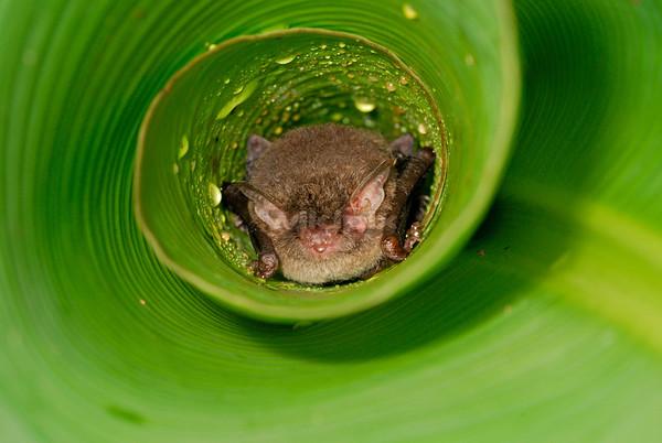 Whiskered Myotis Bat roosting in a leaf