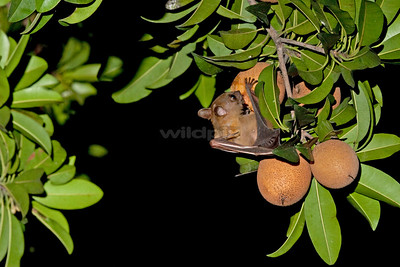 Common Fruit Bat feeding on chiku fruit