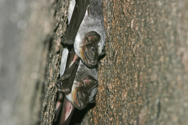 A small group of Pouched Tomb Bats roosting in rock crevices