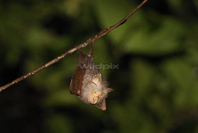Trefoil Horseshoe Bat perched on a branch