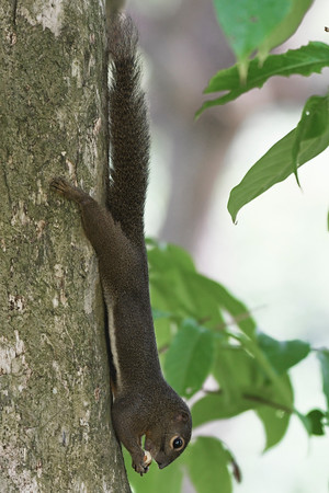 Plantain Squirrel hanging on while feeding