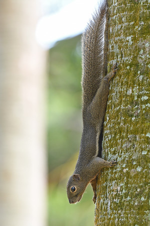 An alert plantain squirrel