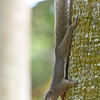An alert plantain squirrel