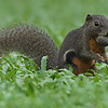 Plantain Squirrel with a large seed in its mouth.