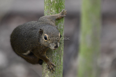Plantain Squirrel ready to spring onto another branch.