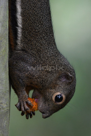 Plantain Squirrel holding on, feeding on the fruit of a palm tree