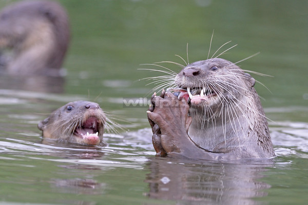 A Smooth-coated Otter cub begging for food as it watches the parent feasting on a fish