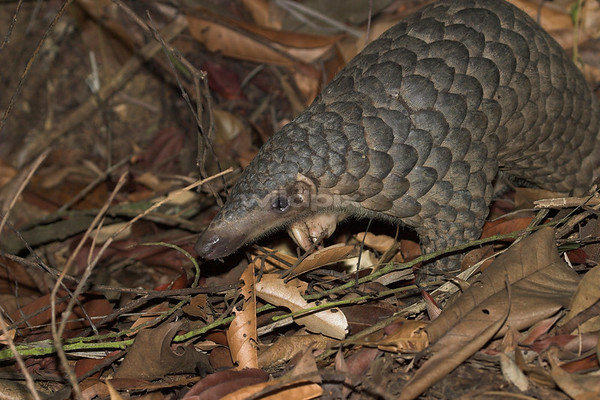 Sunda Pangolin on the ground search for ants or termites