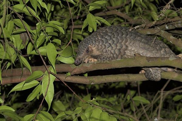 Sunda Pangolin on a tree