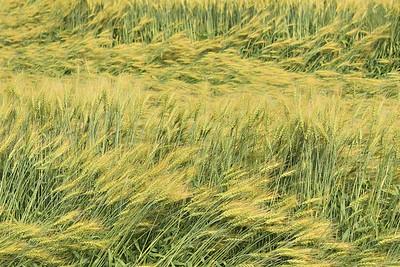 Ripening crop