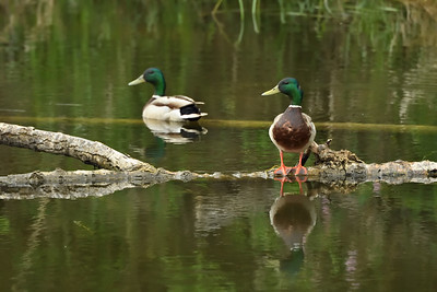 This log, jammed and floating in the Sturgeon River, provides a perch for many a feathered creature, including these two Mallards