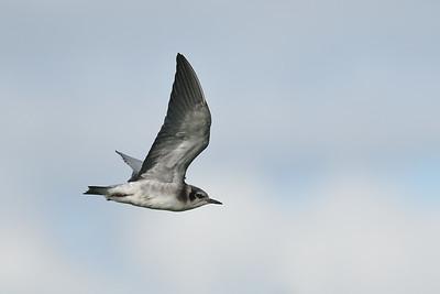 Black Tern (Fledgling)