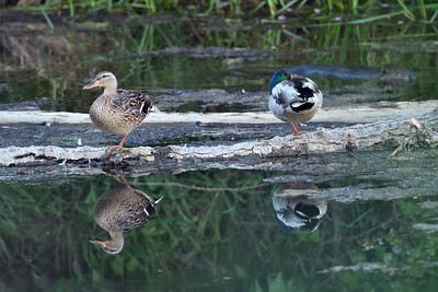 Ducks and a beaver
