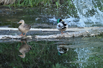 The peaceful repose of this pair of mallards on the log is interrupted by a beaver doing its slap and go routine, likely prompted by my presence