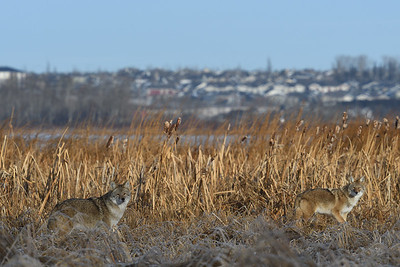 Adult and Juvenile Coyote