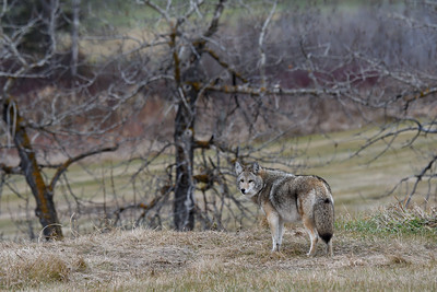 Coyotescape