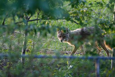 The cute Coyote