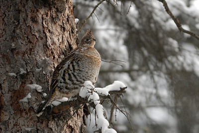 Ruffed Grouse keeping warm in the woods on the banks of the upper Sturgeon River