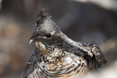 Grouse Portrait