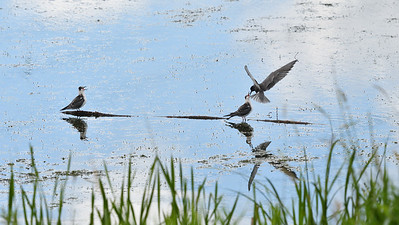 Black Terns on the Sturgeon River