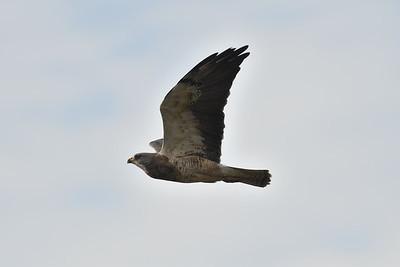 Swainsons's Hawk