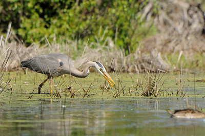 Great Blue Heron  hunting in a marsh near the Sturgeon River