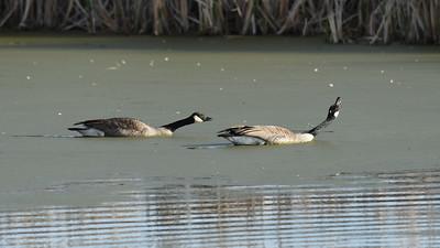 Goose ritual
