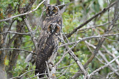Juvenile Long Eared Owls