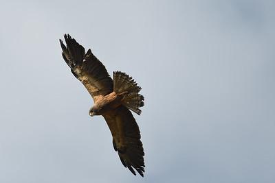 Broad-winged Hawk?