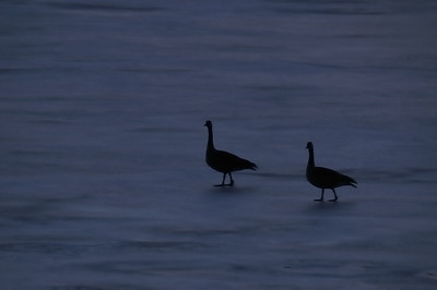 A pair of Canada Geese settle in for the night on frozen Big Lake