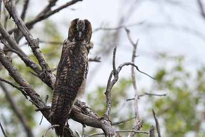 Long Eared Owl Juvenile