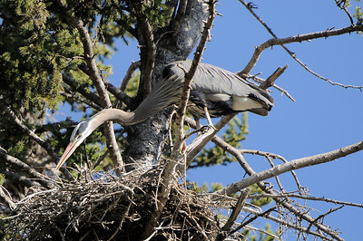A Great blue Heron gingerly plucks a twig from an old nesting site to help build a new one for this year on the banks of the upper Sturgeon River