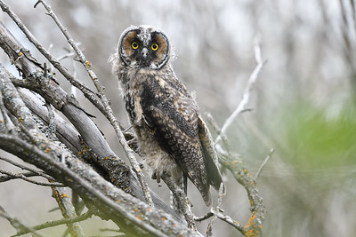 Just fledged Long Eared Owl