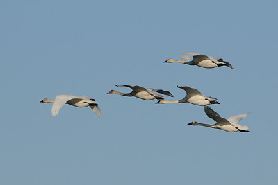 A family group of Tundra Swans over fly Big Lake on their fall migration