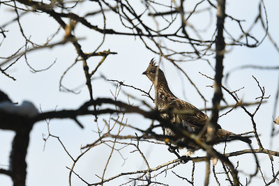 Ruffed Grouse in a tree
