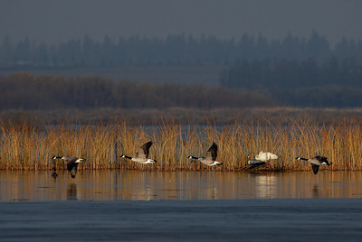 A flight of Canada geese swoops by a resting tundra swan and cygnet early on a fall morning at Big Lake