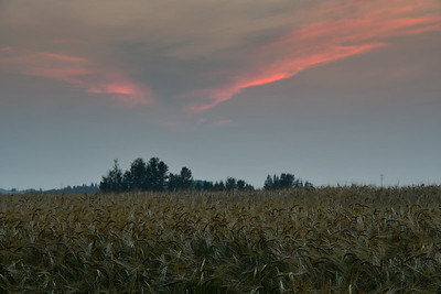 Dusk over the Barley Field