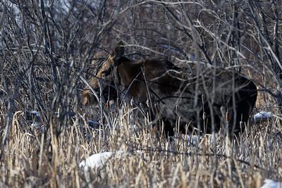 Moose in the wetland