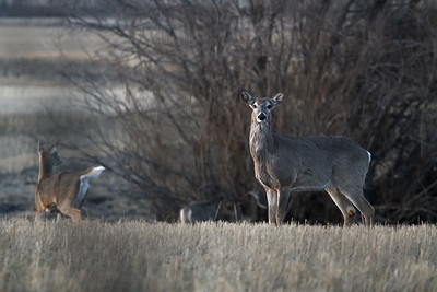 White-tailed Deer at dusk