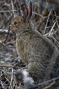 Hare with Ticks