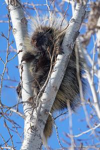 Porcupine climbing