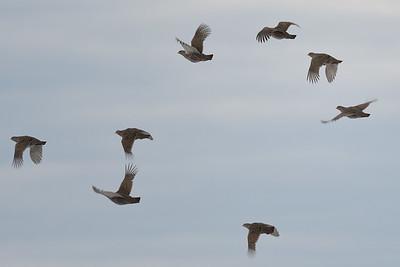 Gray Partridges take flight