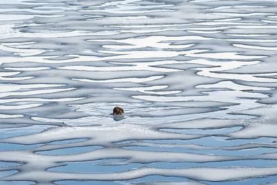 Muskrat on Ice
