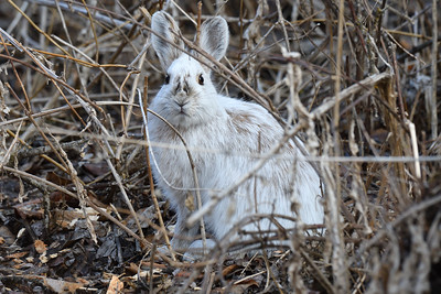 Snowshoe Hare