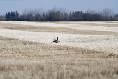 Geese in a prairie field